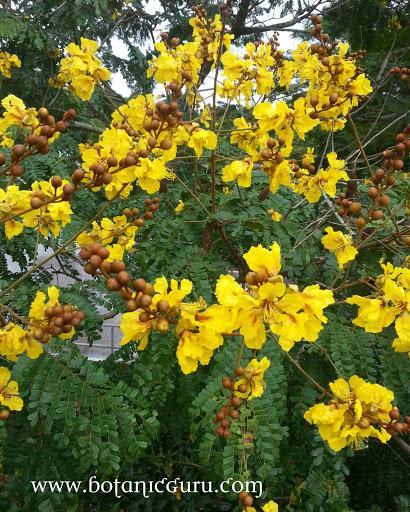 Caesalpinia sappan, East Indian Redwood, Sappan Wood flowers