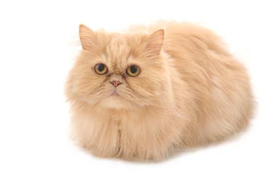 4 Jenis Kucing Persia Kucing Hias