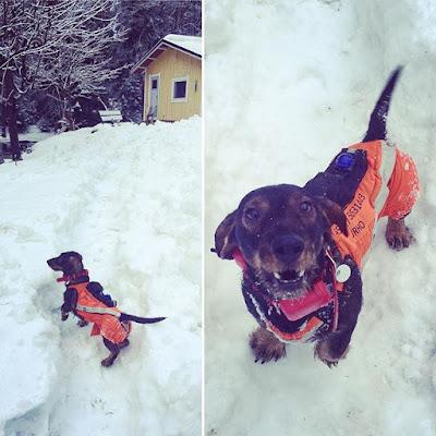 mäyräkoira talvi metsästyspuku kardog