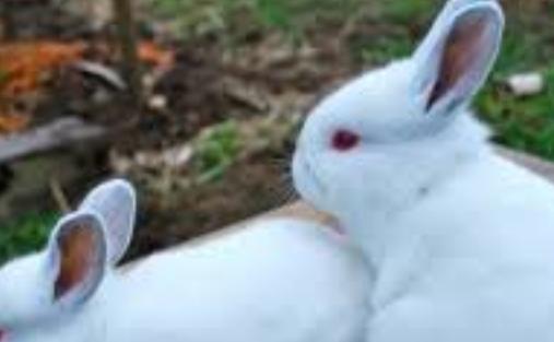 Cerita Fabel Berjudul Kelinci Putih