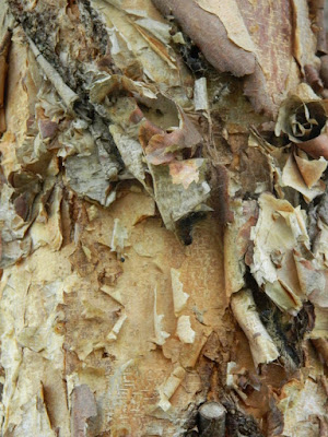 River birch (Betula nigra) bark at the Toronto Botanical Garden by garden muses-not another Toronto gardening blog