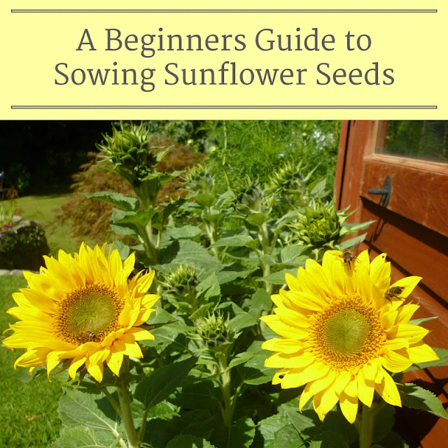 How to Sow Sunflower seeds