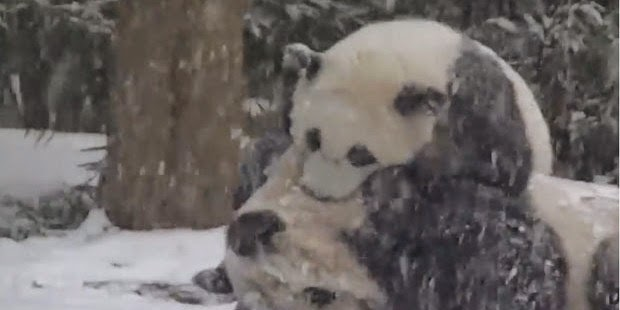 Bao Bao, a panda born just over a year ago at Washington's National Zoo played in the snow