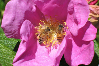 bees and rose