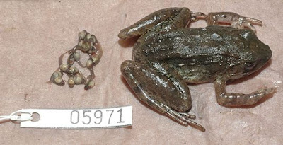 Jenis Kodok Baru Limnonectes larvaepartus