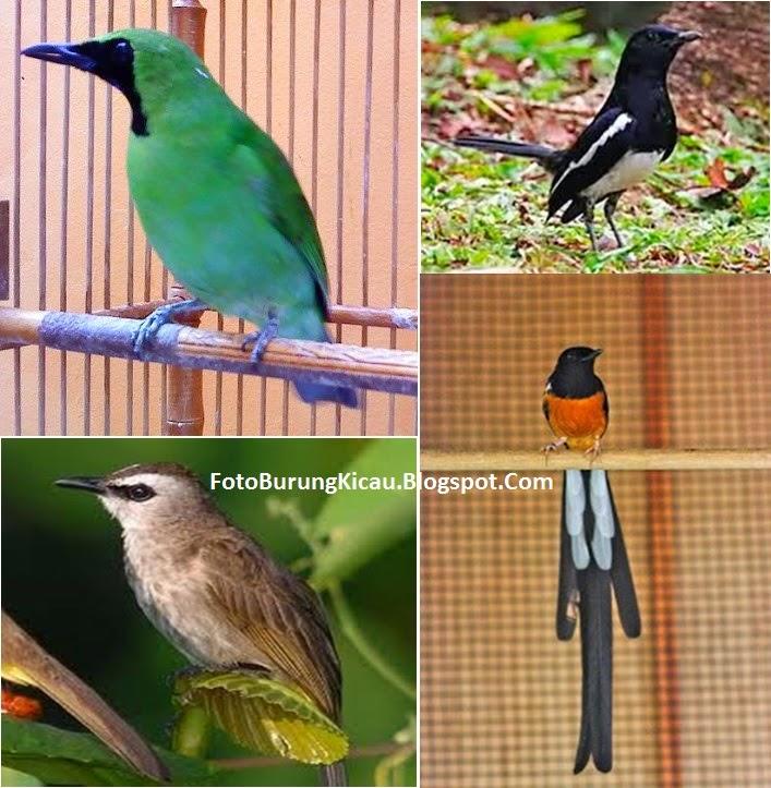 Foto Burung Kicau Suara Gacor Nyaring Paling Populer di Indonesia Terbaru