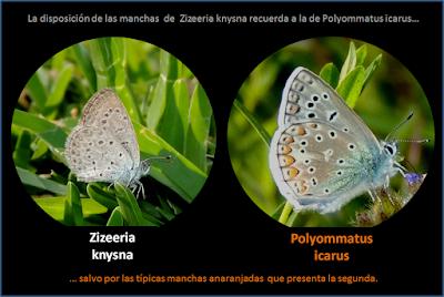 Zyzeeria knysna y Polyommatus icarus