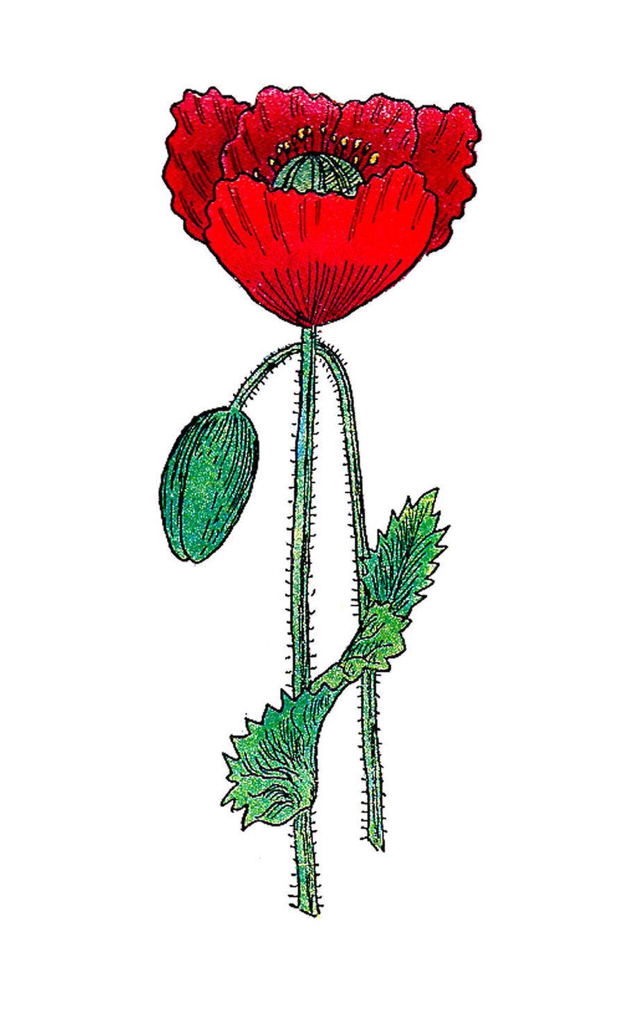 Antique images free botanical graphic vintage poppy flower free botanical graphic vintage poppy flower illustration from 1916 medical book mightylinksfo