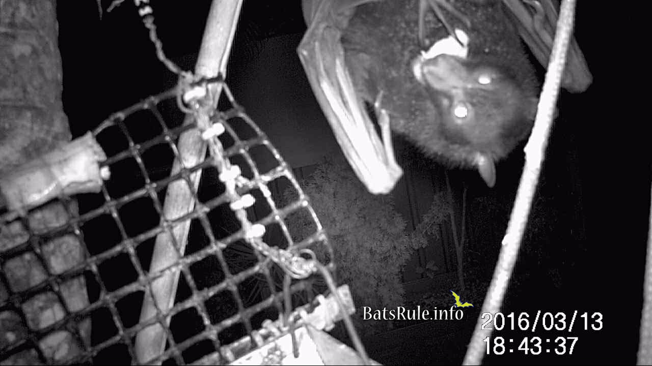 megabat black male backyard flying fox fruit bat