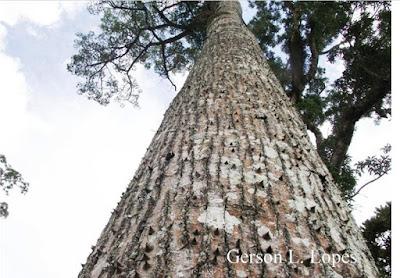 Ceiba speciosa tronco