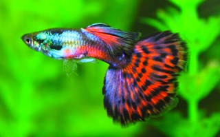 Gambar dan harga ikan Guppy Cobra Mozaic Halfmoon Ribbon