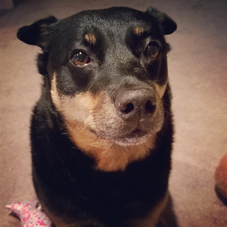image of Zelda the Black and Tan Mutt sitting on the floor, looking at me