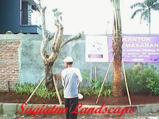 KAMBOJA_FOSIL_KAMBOJA_FORSIL_POHON_KAMBOJA