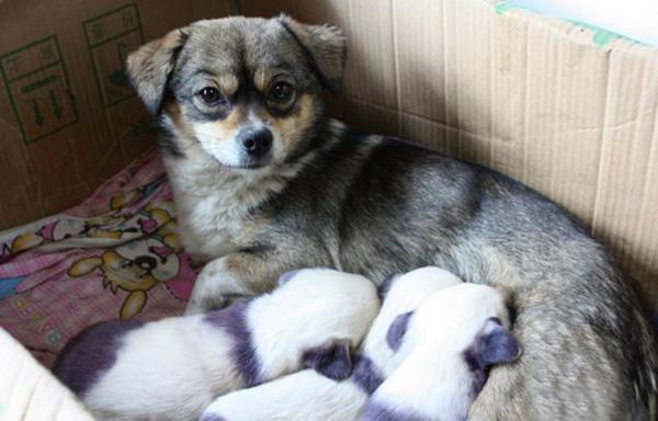 Đàn chó con không giống bố mẹ mà giống... gấu trúc