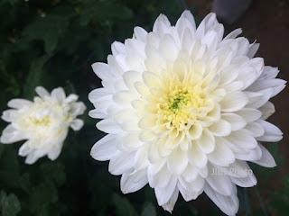 bunga-krisan-gresik