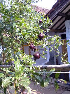 Mengenal Pohon Delima (Punica Granatum Linn)