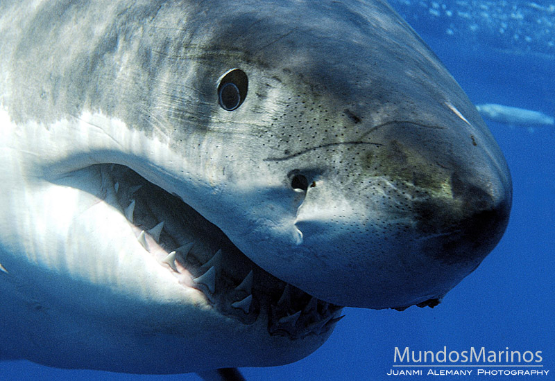 Tiburones en Galicia: Los ojos del tiburón blanco