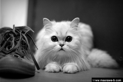 Black Cat Eyes Wallpaper صور قطط كيوت 2016 خلفيات قطط جميلة جدا