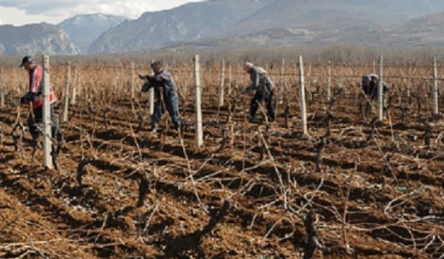Vineyards and fruit trees at risk due to low temperatures in Macedonia