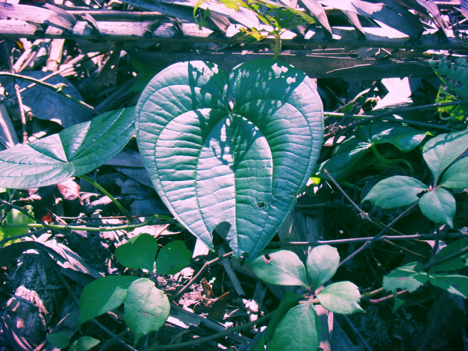 Heart-Shaped Plant Leaves in the Forest of Florida