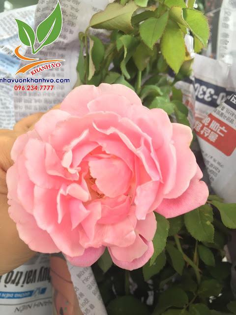 Cây hoa hồng cổ - tree rose - cực sai hoa - đẹp nghệ thuật 2b8a71c9822b6075393a_result