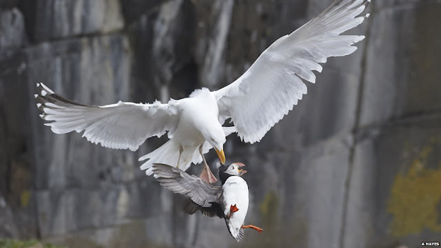 gull eating puffin bird