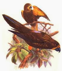 Lori pardo: Chalcopsitta duivenbodei