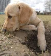 cão fazendo buraco