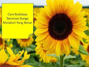 Cara Budidaya Flora Bunga Matahari Yang Benar