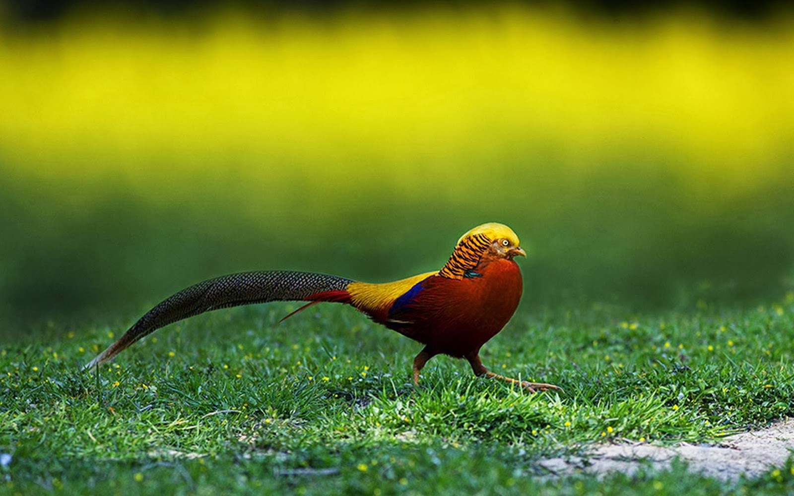Golden Pheasant Birds HD Wallpapers - Angelic Hugs