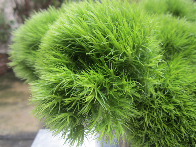 close up of dianthus green trick in a vase