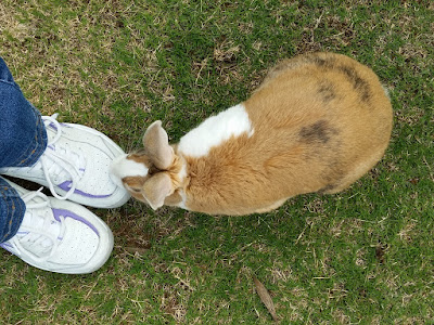 Above view of tri-colour bunny (ginger, black and white) with his white muzzle on a white sports shoe. The shapes on the left are the cuffs of blue jeans and a pair of white shoes. Bunny is mainly ginger with a large white patch across his side and back.