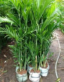 Jual Palem Bambu Komodoria