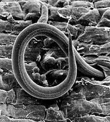 Pobladores del suelo: nematodos