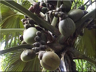 Double Coconut Fruit (Scientific name is Lodoicea maldivica)