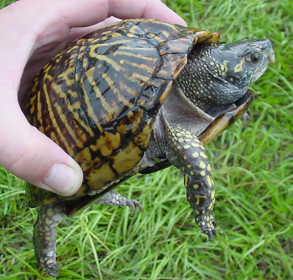 THE ANIMAL For JUST: AMERICAN BOX TURTLES