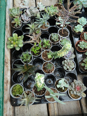 Sunnybrook Volunteer Association greenhouse succulents by garden muses-not another Toronto gardening blog