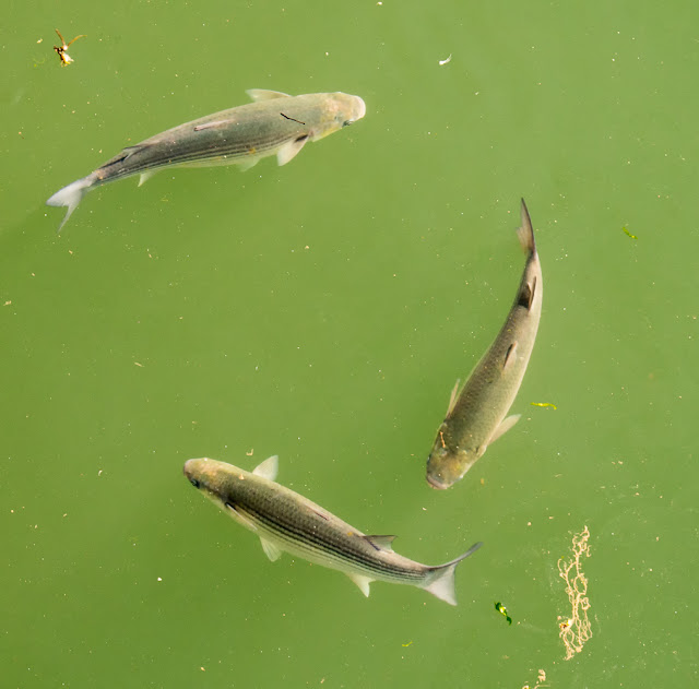 Photo of grey mullet swimming around in the marina