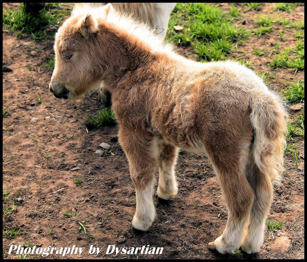 30. Knee-high to a Grasshopper - Baby Shetland Pony