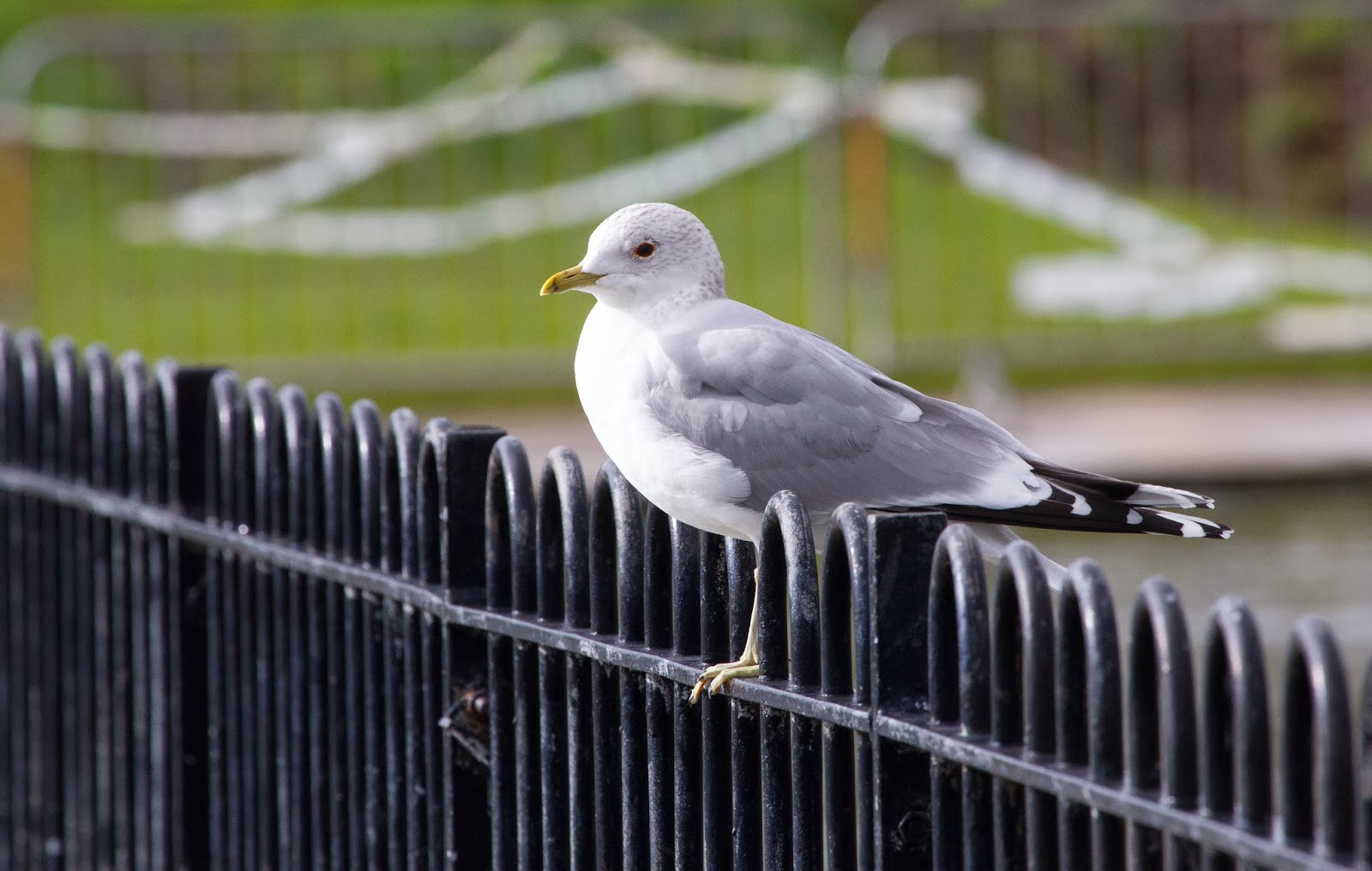 Common Gull - Simon Colenutt