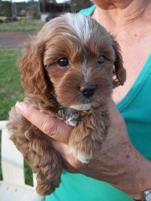 Cavoodle Pups High Quality Cavoodle Puppies