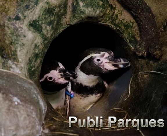 Pareja de pingüinos Humboldt