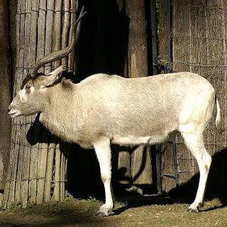 Addax - Antilope à nez tacheté - Addax nasomaculatus
