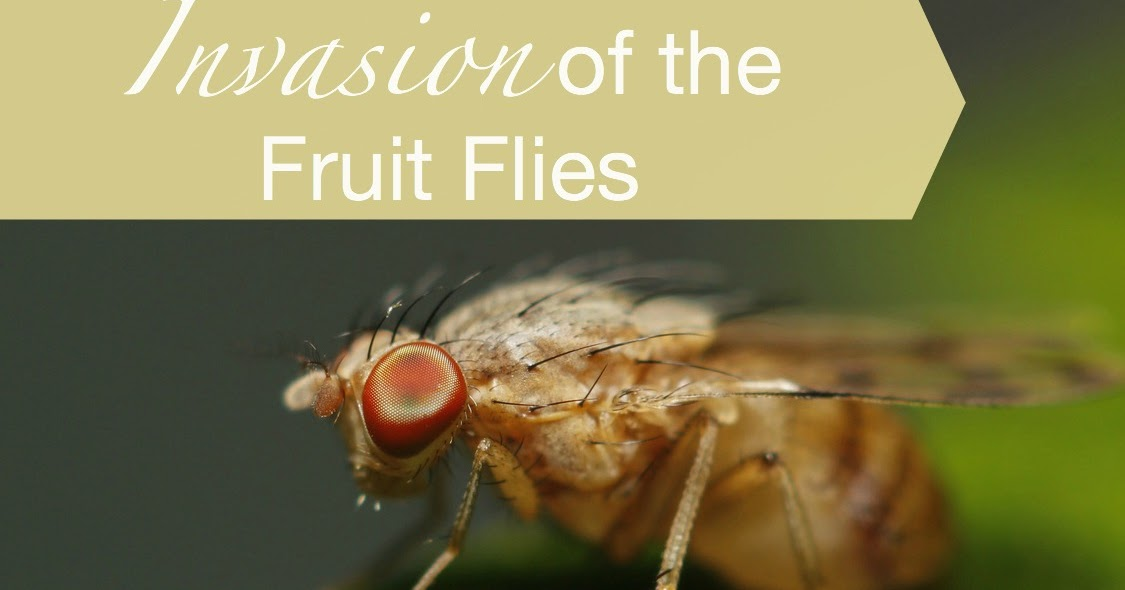 how do you catch fruit flies is fruit healthy
