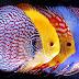 Dengan Cara Budidaya Ikan Discus Ini, Penghasilan Naik 10x Lipat