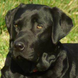 sos-labradores-retriever