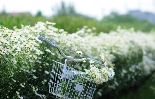 y nghia hoa cuc hoa mi