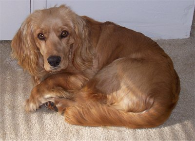 Goldens Retrievers: Cocker Spaniel Golden Retriever
