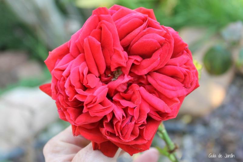 Una rosa madrugadora