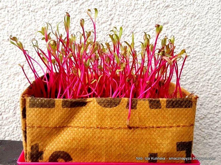 mikro buraczki, microburaczki, homekitchengarden, hodujemy kielki, jak hodowac kielki w domu, male roslinki, buraki
